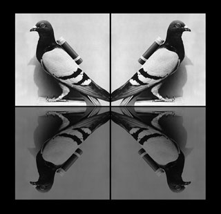 four_carrier_pigeons